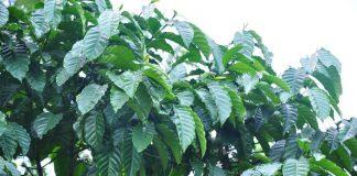 pemangkasan pohon kopi