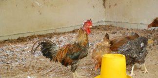 antibiotik untuk ayam