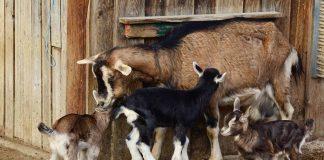 peternakan kambing