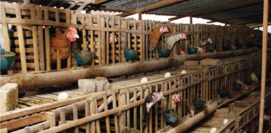 produksi ayam petelur