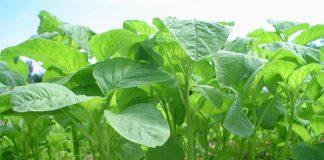 Sayuran Amaranthaceae