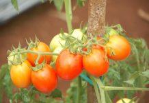 sayuran buah