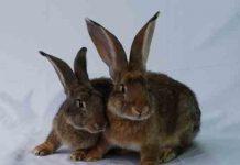 sifat kelinci