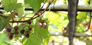 tanaman buah