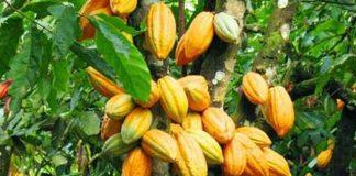 memetik buah kakao