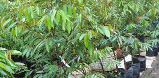 bibit pohon buah