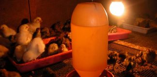 biaya produksi ternak ayam