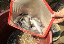 merawat ikan