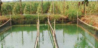 kolam ikan nila