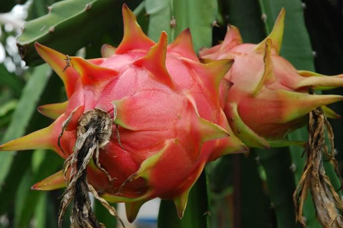 hama tanaman buah naga