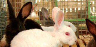 ternak kelinci potong