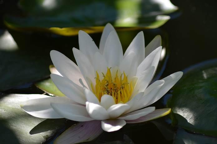 budidaya lili