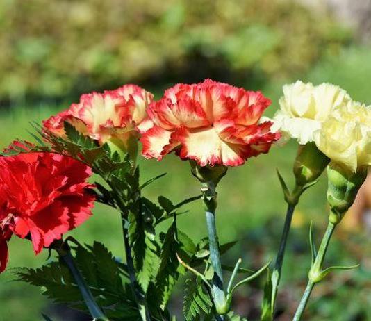 bunga anyelir sitari