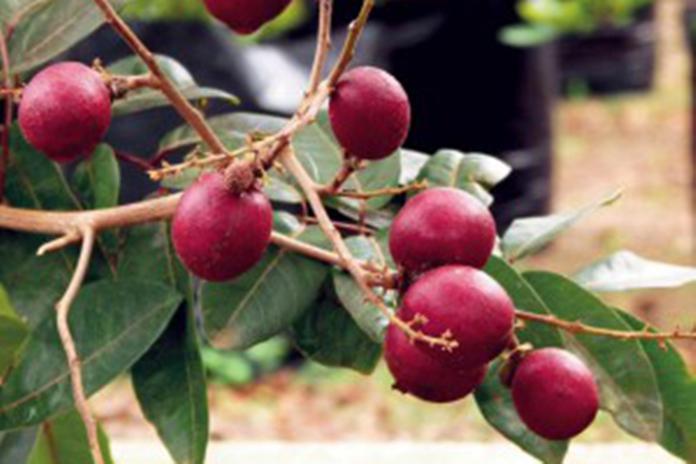 menanam lengkeng merah