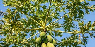 menanam pepaya di pot