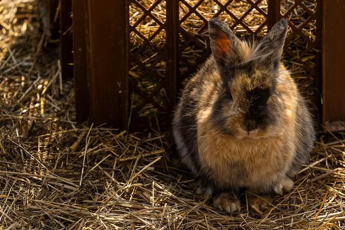 penyakit kudis kelinci