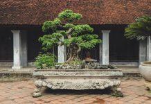 menyiram pohon bonsai