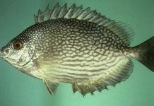 ikan dingkis