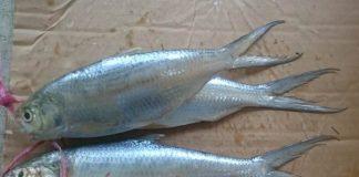 ikan terubuk
