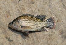 benih ikan nila