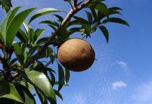 menanam pohon sawo