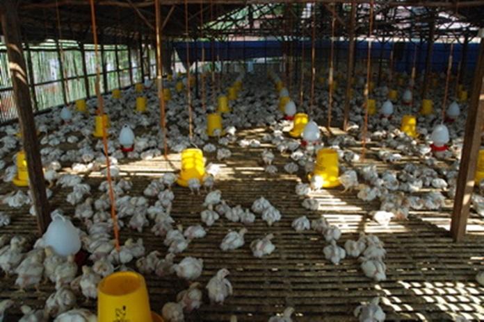 lokasi kandang ayam broiler