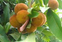 manfaat buah bisbul