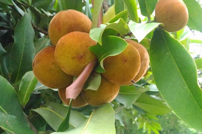 buah bisbul