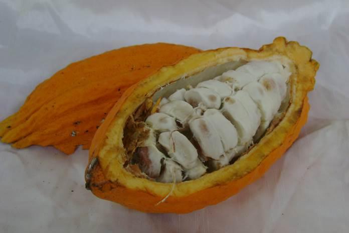 kulit buah kakao