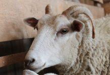 bangsa domba indonesia