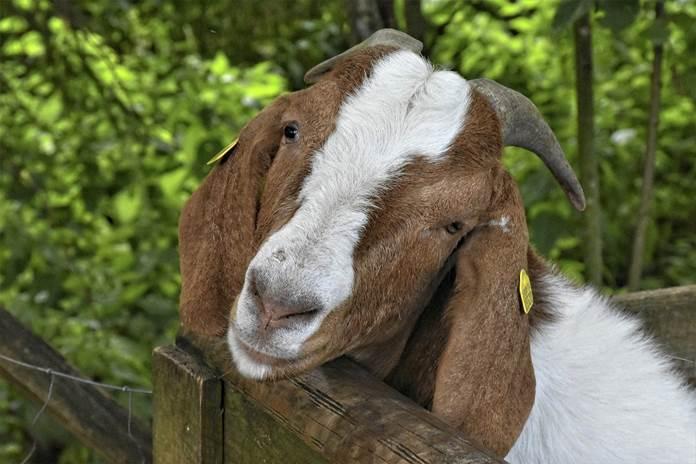 pakan induk kambing