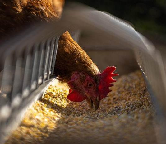 penyakit ayam
