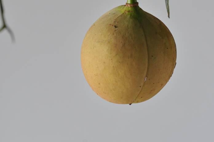 buah pala busuk