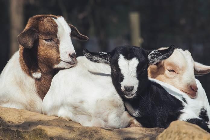 proses perkawinan kambing