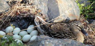 penetasan telur itik
