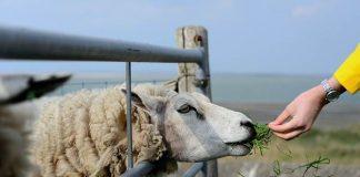 kandang domba