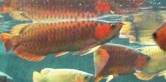 filter akuarium arwana