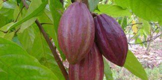 produktivitas pohon kakao