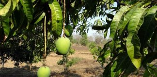 pemupukan pohon mangga