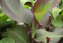 tanaman ganyong
