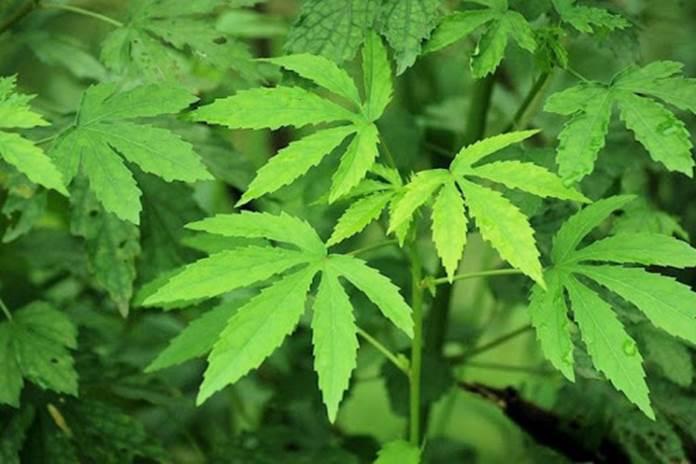 tanaman kenaf