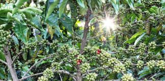 pohon penaung kopi