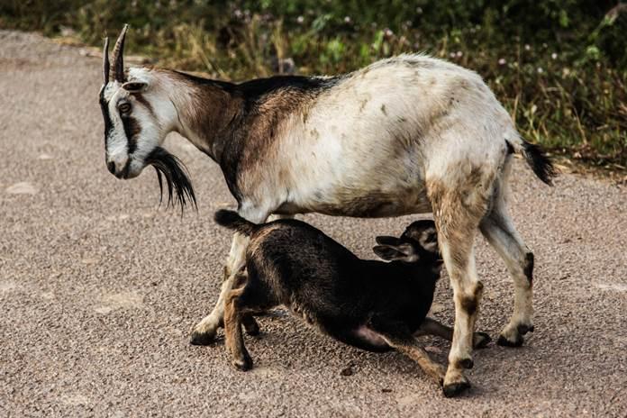 induk kambing melahirkan