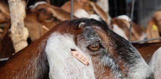 kelompo ternak kambing