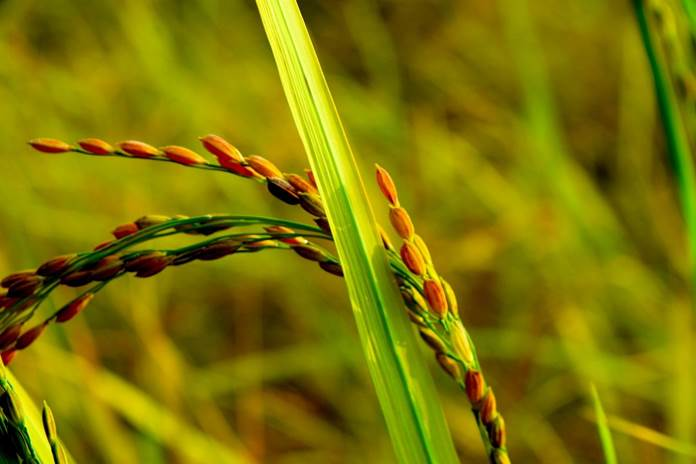 hama padi