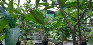 pohon jambu air khiojok