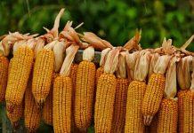 mengeringkan jagung