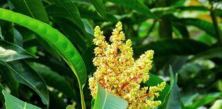 bunga pohon buah mangga