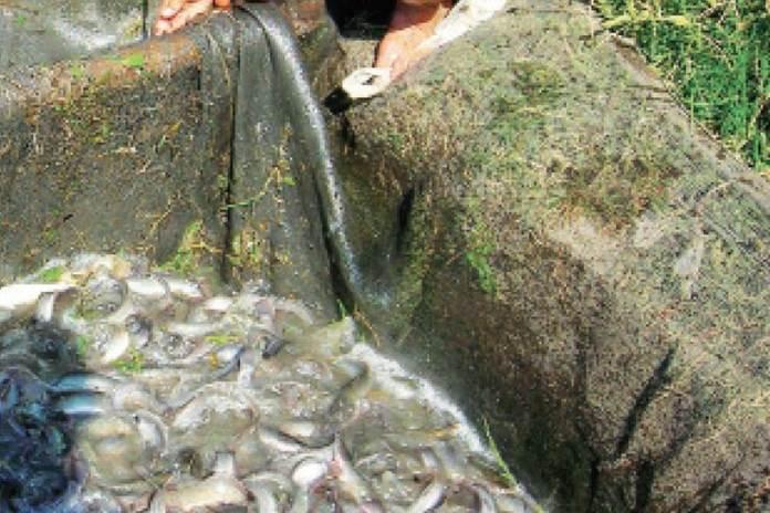 kolam tanah ikan lele