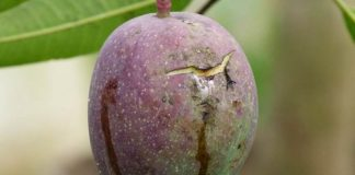 buah mangga muda